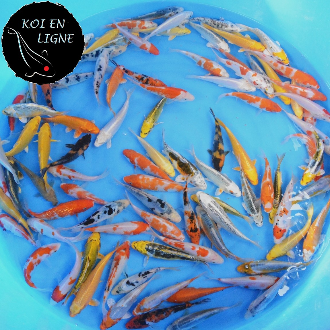 Mix ko premium 12 14cm lots de carpes koi koi france for Achat carpe koi en ligne