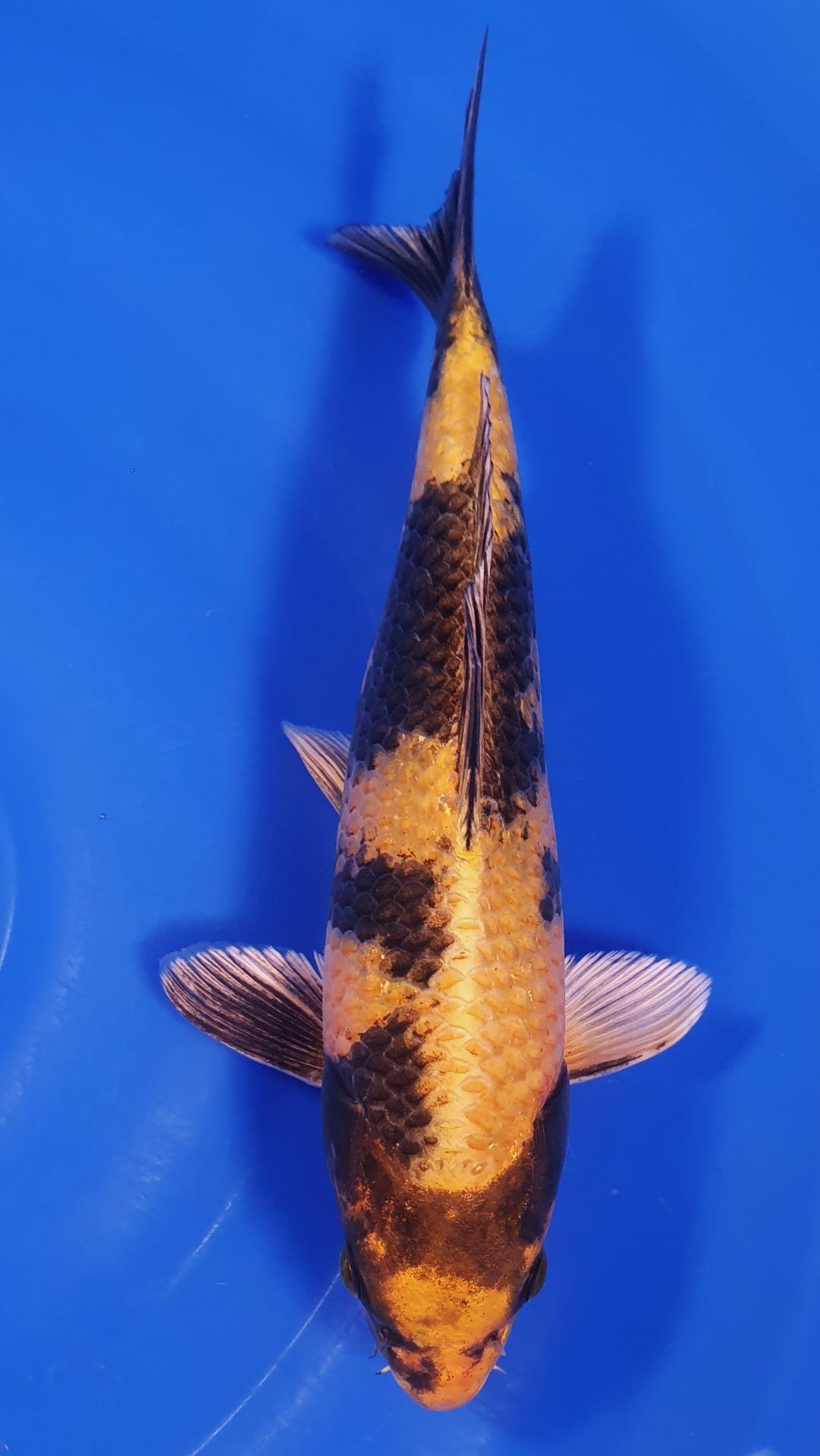 Kin ki Utsuri-25cm-éleveur France Koi M. Nam Resto Chinois Roscoff 31/12